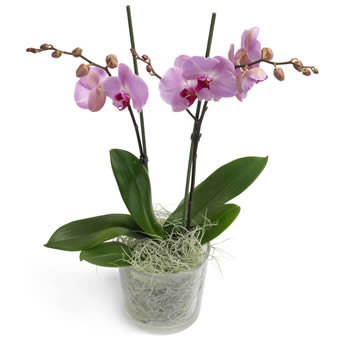 Sugarsweet Orchid