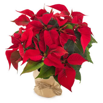 Rode poinsettia