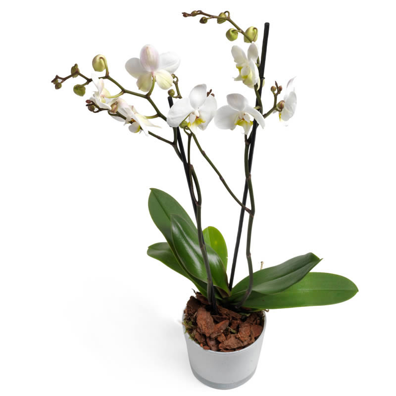 Milkywhite Orchid