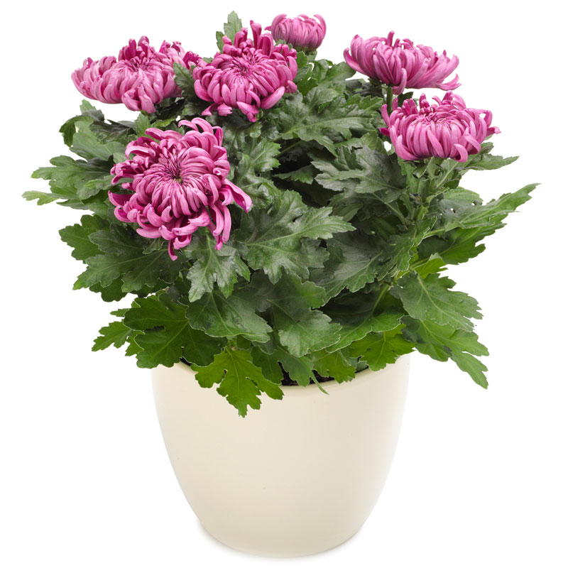 Sweet pink chrysanthemum