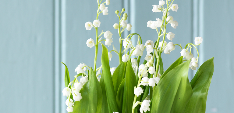 1ST OF MAY - LILY OF THE VALLEY